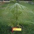 Euterpe jedlá ( Euterpe edulis) 3 semena