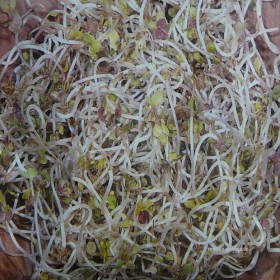 Klíčky - Hořčice - Bio osivo - semena 50 g