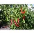 Cayenne Long Chilli - semínka rostliny 10 ks