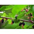 Moruše Černá - semínka rostliny 7 ks