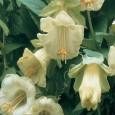 Šplhavý vilec - bílá - semena 0,8 g