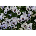Maceška zahradní-Aalsmeerská směs - semena 0,2 g