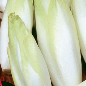 Čekanka salátová-puková-Di Bruxelles - 0,7 g