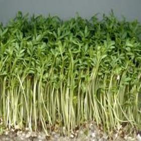 Zdravé klíčky - řeřicha - Bio klíčky - semena 75g