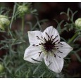 Kmín černý Baraka ( Nigella sativa) 15 semen