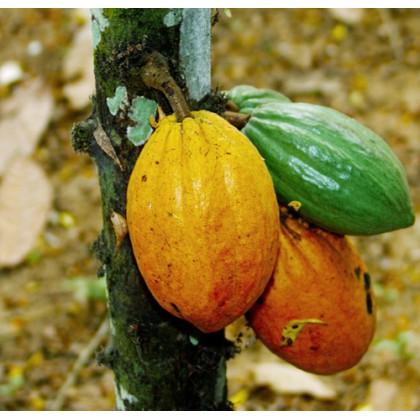 Kakaovník (Theobroma cacao) 3 semena
