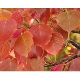 Fíkovník posvátný (Ficus religiosa) 5 semen