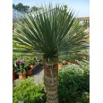 Juka Thompsonova (Yucca thompsoniana) 10 semen
