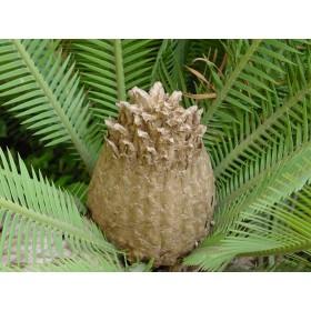 Dión jedlý (rostlina: Dioon edule) 2 semínka rostliny
