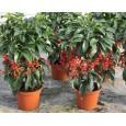 Klíman (rostlina: Ardisia crispa) 5 semen