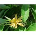 Magnólie champacea (Magnolia champaca) 6 semen