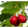 Rajčenka řepová (Solanum betaceum) 10 semen