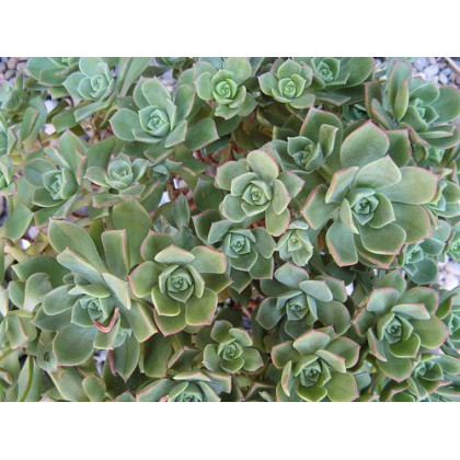 Aeonium ciliatum (Aeonium ciliatum) 15 semen