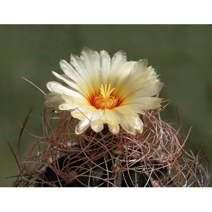 Kaktus Capricorne (Astrophytum capricorne) 6 semen