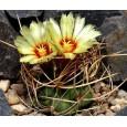 Kaktus Senile (Astrophytum senile) 6 semen