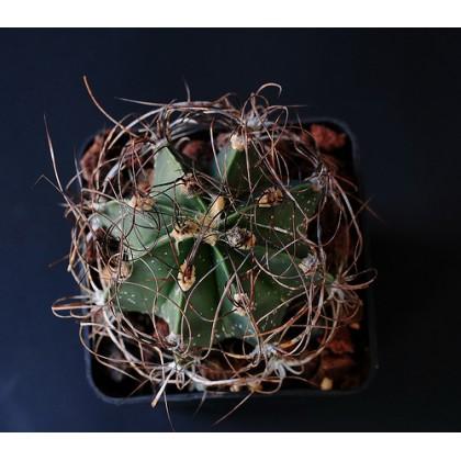 Kaktus Senile v. Qurcum (Astrophytum senile) 6 semen