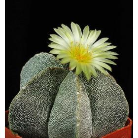 Kaktus Mix (kaktusy: Astrophytum) 6 semen