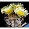 Kaktus Crassispinoides (Astrophytum crassispinoides) 6 semen
