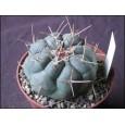 Kaktus hexadrophorus (Thelocactus hexadrophorus) 6 semne