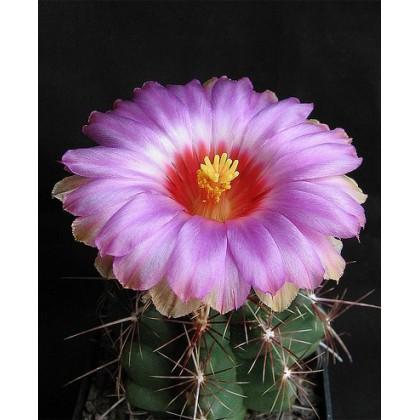 Kaktus Bicolor (Thelocactus bicolor) 6 semen