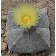 Kaktus Myriostigma (Astrophytum myriostigma) 6 semen