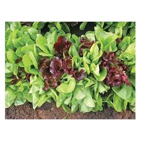 Azijské saláty - výsevný pás
