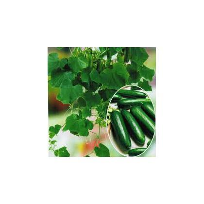 Okurka salátová Ministars - semena okurky