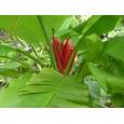 Banánovník Ohnivý ( musa coccinea) 5 semen