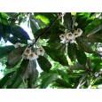 Mastnoplod ( Elaeocarpus lanceifolius) 4 semena