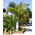 Palma elegantní (Hyophorbe verschaffeltii) 4 semena