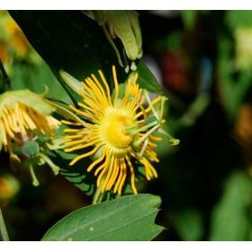 Mučenka žlutá (Passiflora flavicarpa) 6 semen