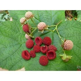Ostružiník nutkajský - 6 semen