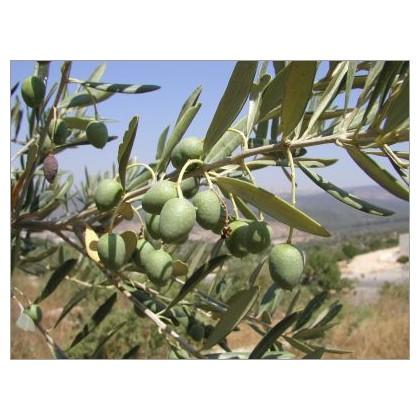 Olivovník evropský (Olea Europaea) 5 semen