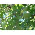 Oslizák líbezný - 5 semen