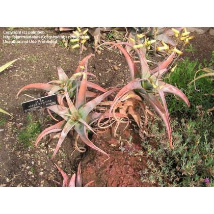 Aloe megalacantha ( Aloe megalacantha ) 6 semen