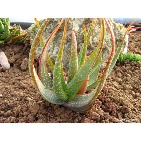 Aloe microstigma ( Aloe microstigma ) 6 semen