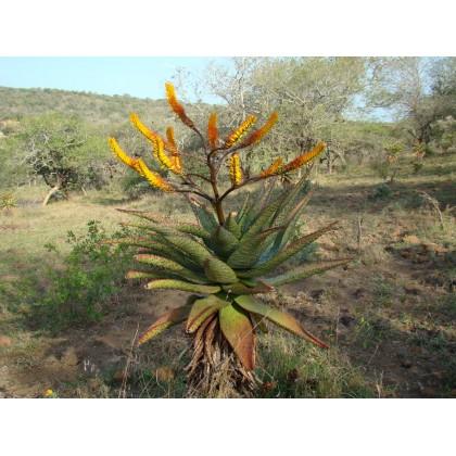 Aloe spectabilis ( Aloe spectabilis ) 6 semen
