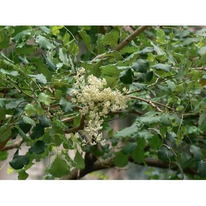 Dalbergia širokolistá - 9 semen
