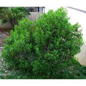 Dodonea lepkavá (Dodonaea viscosa subsp. viscosa) - 9 semen