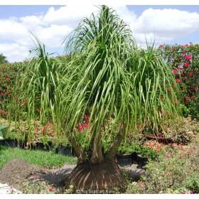Nolina Sloní noha (Beaucarnea guatemalensis) - 7 semen