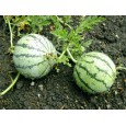 Meloun Cream Saskatchewan - bílý (Citrullus lanatus ) 10 semen