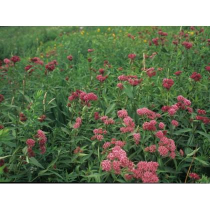 Klejicha Red Milkweed - červená ( prarostlina: Asclepias incarnata ) cca 15 semen