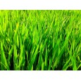 Mladá pšenice 50g